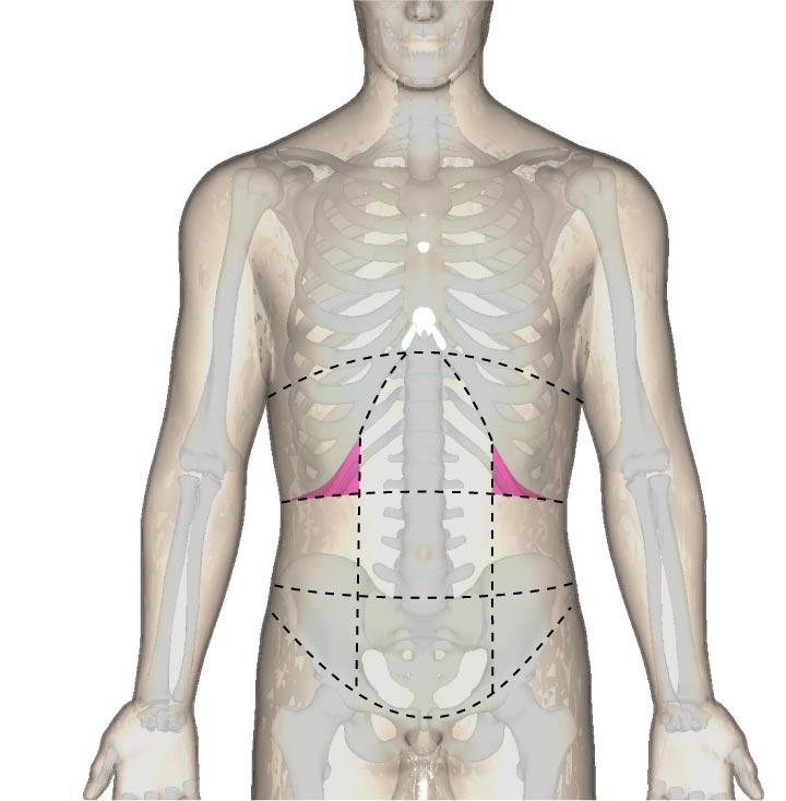 一般的な「下肋部」の位置