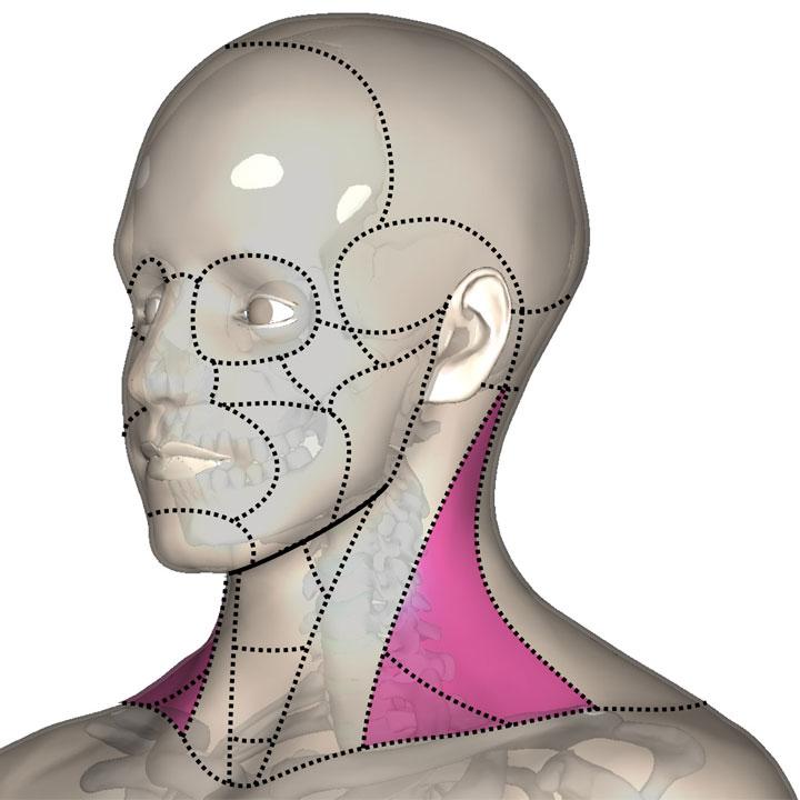 狭い意味での側頚部
