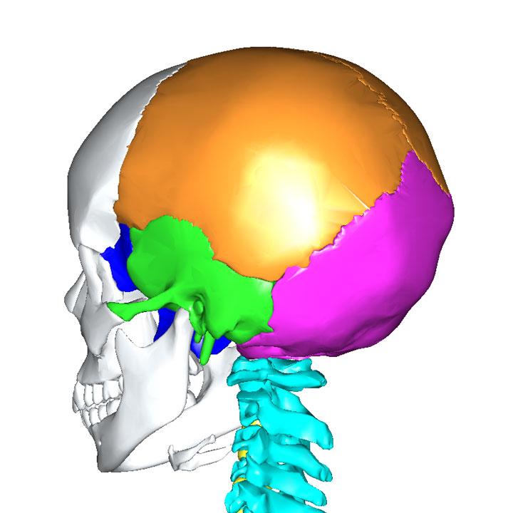 後頭骨と接する骨