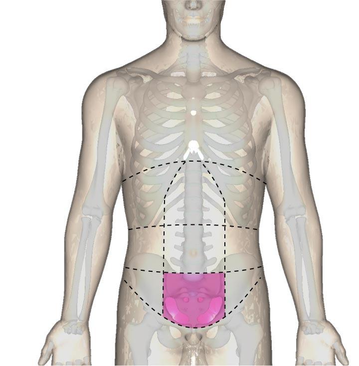恥骨部の位置と腹部の区分