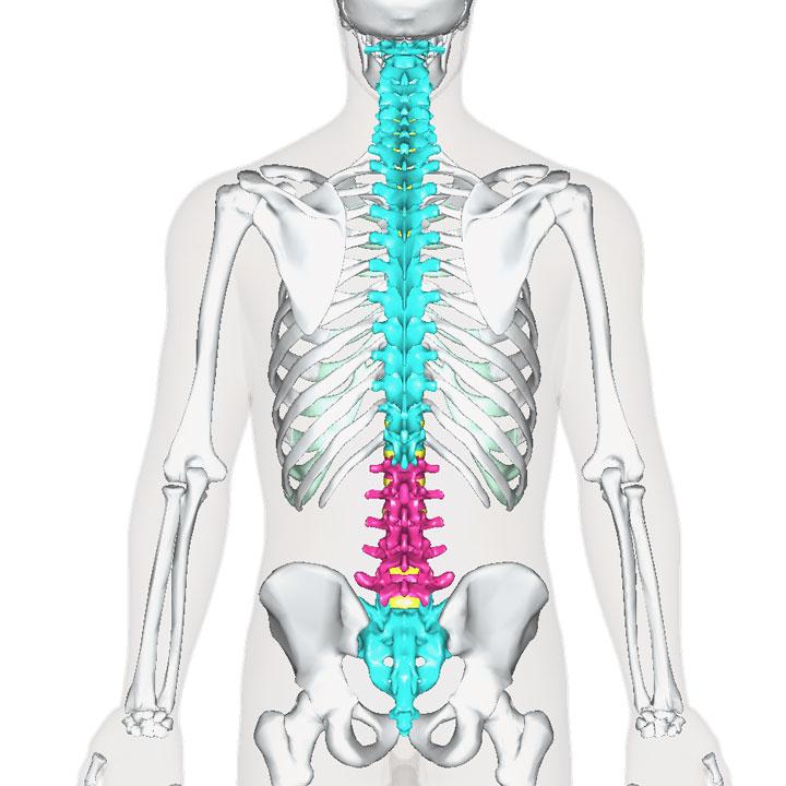 腰椎の位置