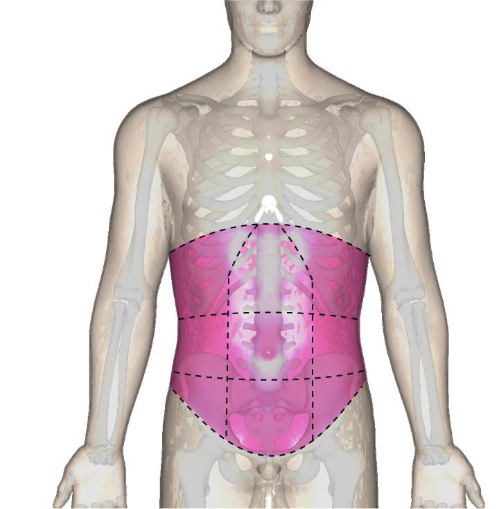 腹部の位置と区分